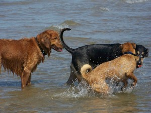 Dogs enjoying the Foster Ave. dog beach on Lake Michigan.  Credit:  Speedy Marie / Flickr